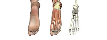 Podiatric Anatomy
